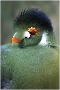 ⓕurry & ⓕeathery ⓕriends - photos of birds, pets & wild animals - White Cheeked Turaco Pretty Birds, Beautiful Birds, Animals Beautiful, Cute Animals, Wild Animals, Fruit Animals, Beautiful Pictures, Kinds Of Birds, All Birds