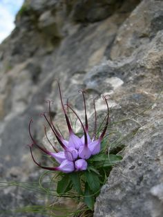 Devils Claw (Physoplexis Comosa), I must get my hands on this plant!