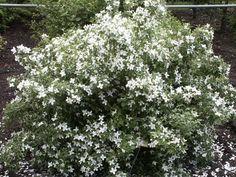 PHILADELPHUS ´Silberregen´ Kleiner, bis 80 cm hoher, dicht verzweigter Strauch; Blätter eiförmig, hellgrün, 1,5-3 cm lang, mt 1-3 Zähnen, unterseits schwach bis stark behaart; Blüten bis 4 cm breit, einzeln, reinweiß, intensiv nach Erdbeeren duftend - ein sehr schöner , kleiner, ausgesprochen gut duftender Blütenstrauch.