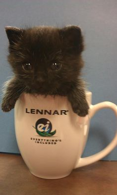 """""""This is Wookie who works in our Communications Department in Houston."""" - originally posted by Lennar Atlanta Baby Animals, Funny Animals, Cute Animals, Crazy Cat Lady, Crazy Cats, I Love Cats, Cute Cats, Kittens Cutest, Cats And Kittens"""
