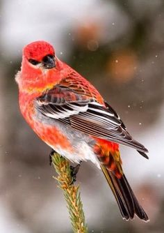 Durbec by Diane Dubé. Pine Grosbeak: a large member of the true finch family, Fringillidae. It is found in coniferous woods across Alaska, the western mountains of the U., Canada, and in subarctic Fennoscandia and Siberia Pretty Birds, Love Birds, Beautiful Birds, Animals Beautiful, Hello Beautiful, Exotic Birds, Colorful Birds, Kinds Of Birds, Bird Pictures