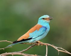 European Roller (Coracias garrulus)  Žalvarnis, Was with a guide when he saw this bird for the first time, he had been looking for it for years. Description from pinterest.com. I searched for this on bing.com/images