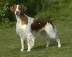 Brittany ... an all round hunting dog.  I believe they have now dropped the word spaniel from the name.
