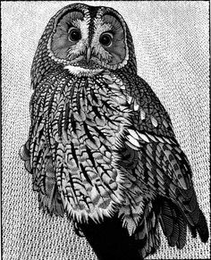 Tawny Owl ~ Wood Engraving ~ Colin See-Paynton ~ The Wildlife Art Gallery