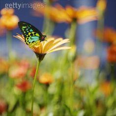 butterflies on african daisies