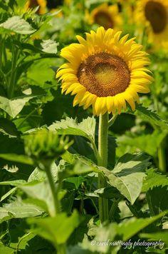 Sunflower, Batey Farms, Murfreesboro, TN