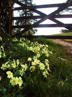 Primroses at farm gate Country Fences, Country Farm, Country Life, Country Living, Spring Flowers, Wild Flowers, Farm Gate, Primroses, English Country Gardens