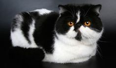 Exotic Shorthairs are a bit more active than Persians. See the rest of the most popular cat breeds in America in this cute slideshow.
