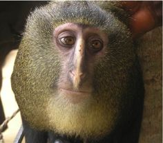 New, colorful monkey species discovered in Africa rain forest