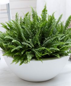 Container gardening is a fun way to add to the visual attraction of your home. You can use the terrific suggestions given here to start improving your garden or begin a new one today. Your garden is certain to bring you great satisfac Balcony Garden, Indoor Garden, Garden Pots, Rooftop Garden, Large Indoor Plants, Outdoor Plants, Container Plants, Container Gardening, Boston Ferns