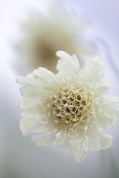 Scabiosa ochroleuca Seeds from Chiltern Seeds - Chiltern Seeds Secure Online Seed Catalogue and Shop Orange Flowers, Cut Flowers, Colorful Flowers, Seed Catalogs, Types Of Soil, Lemon Yellow, Compost, Indoor Plants, Perennials