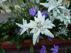 Edelweiss...small and white, clean and bright.  You look happy to greet me.