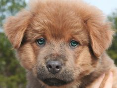 Who could resist? - Tide is an adoptable Chow Chow Dog in Jefferson, GA. Tide is an 8 wk old chow/retriever mix puppy.  He was left at animal control with his littermates. The adoption fee includes spay/neuter, vaccinations