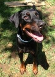 Prince is an adoptable Doberman Pinscher Dog in Annapolis, MD. BALL FANATIC! Prince is a black and brown purebred Doberman Pinscher who was 'too much to handle' for his prior owners. He's a gorgeous b...