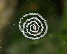 Some orb-web spiders decorate their webs with a conspicuous silk structure called a stabilimentum (plural: stabilimenta). Akio Tanikawa via Wikimedia Commons Spider Silk, Spider Art, Spider Webs, Spirals In Nature, Itsy Bitsy Spider, Mother Nature, Mother Earth, A Bug's Life, Paludarium