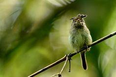 Foto maria-topetuda (Lophotriccus eulophotes) por Emerson Kaseker   Wiki Aves - A Enciclopédia das Aves do Brasil