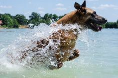 The Malinois is a medium-to-large breed of dog , sometimes classified as a variety of the Belgian Shepherd. Berger Malinois, Belgian Malinois Dog, Pastor Belga Malinois, Belgian Shepherd, Shepherd Dog, Dog Beach, Police Dogs, Healthy Dog Treats, Training Your Dog