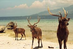 Menjangan veut dire CERF en balinais et, sans surprise, on peut voir des cerfs sur cette ile paradisiaque réputée pour la plongée et le snorkeling. Le nord de Bali (Buleleng) est une merveille qui échappe encore au tourisme pourvu que ça dure !