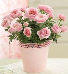 Картинки по запросу чайная роза в горшке