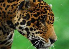 Jaguar Col