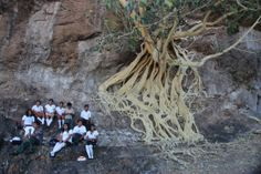 Chalcatzingo That is an amate tree. The bark is used to make paper for painting. They grow on the sides of mountains. We saw several at Chalcatzingo and they are quite spectacular! I wanted the school kids to be in the shot, for scale, but could not fit in the whole tree.  www.barbararachko.com