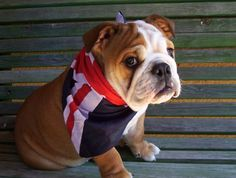 British Bulldog! Woof. so Adorable!