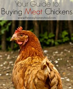 Your Guide to Buying Meat Chickens- What's the difference in breeds? | The Easy Homestead (.com)