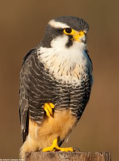 Aplomado Falcon (Falco femoralis) by Octavio Campos Salles on 500px