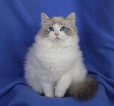 "Rock Creek Daisy Doll Blue Lynx Bicolor Ragdoll kitten |  Rock Creek Ranch Ragdolls is a small closed home cattery, located in Orange Co., Calif., producing outstanding kittens, from Supreme Grand Champion breeding cats. We breed/raise our Ragdolls in our home as part of our family, underfoot, giving them lots of love & personal attention. Our cats/kittens are never caged, but given ""hands on"" love & attention from birth until you take your kitten home."