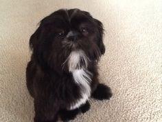 Cute black and white shih tzu - looks so like my little Tuxedo when he was a baby [RIP] ~mgh