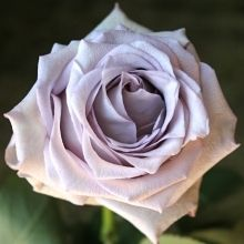 California Grown Lavender Rose, Pacific Blue