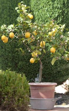 Zitronenbaum richtig schneiden Lemons, mandarins and other citrus plants have to be cut occasionally Fruit Garden, Herb Garden, Indoor Garden, Bonsai Garden, Garden Trees, Container Plants, Container Gardening, Lemon Tree Plants, Mediterranean Plants