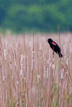 Red-winged Black Bird...