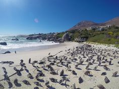 Visit Boulders Beach in Cape Town, the only place on earth where you can get up close to the endangered African Penguin - a bird that epitomises love. African Penguin, Boulder Beach, Bouldering, Gopro, Creatures, Meet, Birds, Earth, Mountains