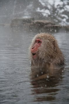Snow Monkey in Hot Spring at First Snowfall