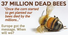 37 million Bees found dead in Elmwood, Ontario, Canada, after large planting of GMO corn seed treated with Neonicotinoid pesticides.