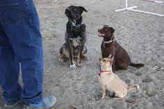 ADOPTED!!! 3R Rescue, Inc.; Winters, CA. Hi I'm Rio! <3 <3 1 yr, brown/fawn Pug/ Chi X. Happy-go-lucky guy loves toys, playing w/ Dogs & people. Good w/ Kids & CATS! I am going to dog school & know how to walk on leash, do sit & down. In addition to my great personality, I have a cute little tap dance & can sing too! My foster mom loves my curly Pug tail & broad square chest. She says I'm a sturdy guy. Huge personality in a small body; loyal dude who loves his people! House-trained.