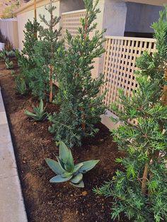 California drought friendly plants, Podocarpus elongates Monmal and Blue Glow Agave Modern Landscaping, Backyard Landscaping, Podocarpus Hedge, Tall Shrubs, California Drought, Hedges, Curb Appeal, Landscape Design, Exterior