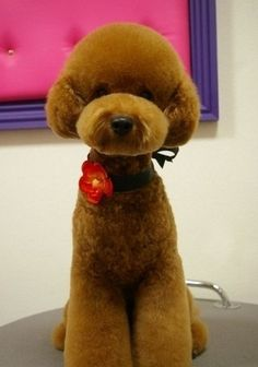 Japanese take on the teddy bear clip on a Poodle. Dog Grooming Styles, Poodle Grooming, Pet Grooming, Japanese Dog Grooming, Japanese Dogs, Japanese Style, Corte Poodle, Cute Puppies, Cute Dogs