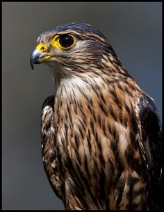 Merlin (Falco Columbarius) photographed by Jen St.Louis at Mountsberg Raptor Centre
