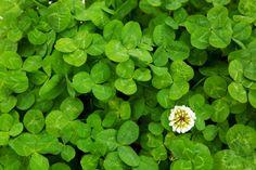 グランドカバーにおすすめの強い植物20選 | LOVEGREEN(ラブグリーン) Green Knight, Perennials, Herbs, Nature, Plants, Naturaleza, Herb, Plant, Nature Illustration