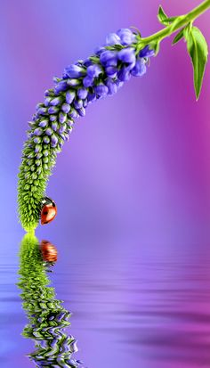 Reflection of Ladybug on Water photo, by ? Beautiful Bugs, Beautiful World, Beautiful Flowers, Beautiful Pictures, Amazing Nature, Photo Coccinelle, Macro Photography, Amazing Photography, Beautiful Creatures