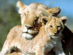 Papeis de Parede Gratuito - Leões: http://wallpapic-br.com/animais/leoes/wallpaper-32413