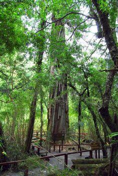 """Alerce milenario,en parque nacional """"Los Alerces"""", #Chubut. #Argentina"""