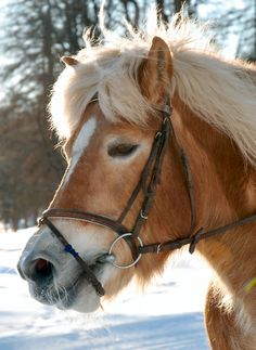 Haflingers are some of the most beautiful animals...