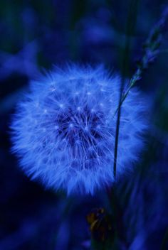 Royal Blue Dandelion on Black Background Image Bleu, Fuerza Natural, Everything Is Blue, Montage Photo, Blue Wallpapers, Blue Aesthetic, Blue Walls, Something Blue, Electric Blue