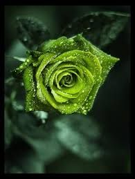 Green Rose With Water Drops