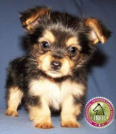 """Chorkie.  Our Mylo has a little more """"orkie"""" and a little less """"huahua"""""""