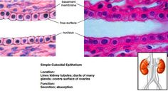 Types of Epithelial Tissues - Squamous Epithelium, Cuboidal Epithelium, Columnar Epithelium, Pseudostratified Columnar Epithelium, Transitional Epithelium. Different Types Of Epithelial Tissue in Pictures and Diagrams Thyroid Diet, Thyroid Gland, Study Of Tissues, Histology Slides, Skin Anatomy, Salivary Gland, Tissue Types, Human Anatomy And Physiology