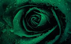Lataa kuva Vihreä ruusu, rosebud, vihreä kukat, ruusut